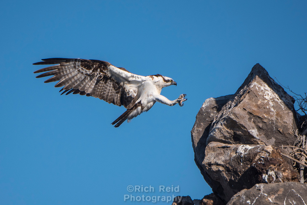 Osprey landing near it's nest on Isla Rasa in Baja California Sur, Mexico.