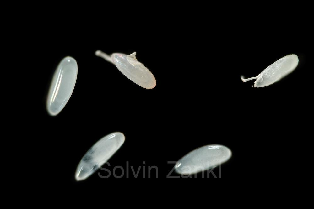 [Digital focus stacking] Fruit Fly (Drosophila melanogaster) embryo [focus stacking] | Die Eier der Taufliege (Drosophila melanogaster) haben eine milchig-weiße Außenhaut mit zwei antennenartigen Fortsätzen. Diese Fortsätze verhindern, dass ein auf einen weichen Nahrungsuntergrund gelegtes Ei völlig versinkt. Zur gentechnischen Manipulation wurde den drei links unten abgebildeten Eiern die äußere Hülle chemisch weggeätzt. In das Hinterende des sich darin entwickelnden Embryos wird mithilfe einer Spritze Erbgut mit definierten Eigenschaften injiziert.