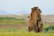 Alaskan Brown Bears sparring,play fighting, Ursus middendorffi,  Katmai National Park, Alaska