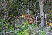 Brazil; Mato Grosso; Pantanal; Rufescent tiger heron; Rufescent Tiger-Heron; Tigrisoma lineatum