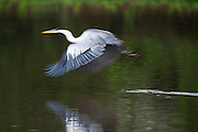 White-necked Heron (Ardea cocoi)<br /> Northern Pantanal<br /> Mato Grosso<br /> Brazil