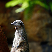 "SHOT 9/7/2007 - A meerkat yawns while standing watch over the rest of the clan at the Lincoln Park Zoo in Chicago, Ill. The meerkat or suricate is a small mammal and a member of the mongoose family. It inhabits all parts of the Kalahari Desert in Botswana and South Africa. Chicago is the largest city in the state of Illinois, the largest in the Midwest and, with a population of nearly 3 million people, is the third largest in the United States. Chicago is a city rich in history and also renowned for its architecture. Chicago attracts about 33 million visitors annually from around the world and nation. Upscale shopping along the Magnificent Mile, thousands of restaurants, as well as Chicago's eminent architecture, continue to draw tourists every year. Includes images from the Shedd Aquarium, the Magnificent Mile and Millenium Park (Including Cloud Gate aka ""The Bean"" and Crown Fountain)..(Photo by Marc Piscotty © 2007)"