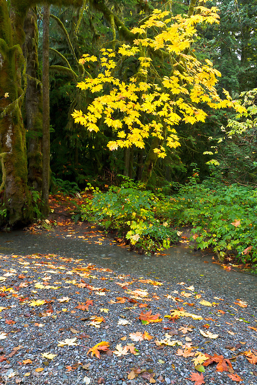 Fall colour on the Cameron River in Macmillan Provincial Park (Cathedral Grove) near Port Alberni, British Columbia, Canada