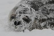Weddel Seal ( Leptonychotes weddellii ) in a snow blizzard at Yankee Harbour.