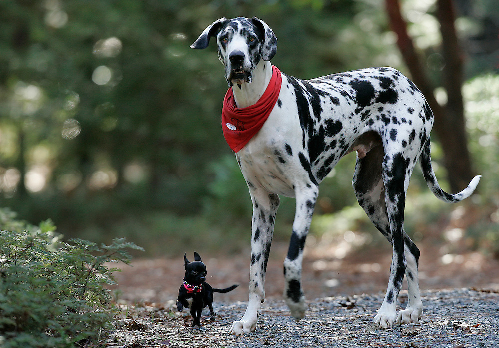 "According to Guinness World Records, Gibson, a Great Dane, is the world's tallest dog, from floor to shoulder 42.2"".  He stands 7'2"". Gibson plays with his friend, Zoie, a 7.5"" Chihuahua."
