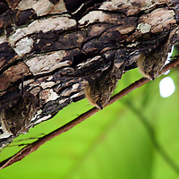 Central America, Costa Rica, Manuel Antonio. Trio of hanging bats.
