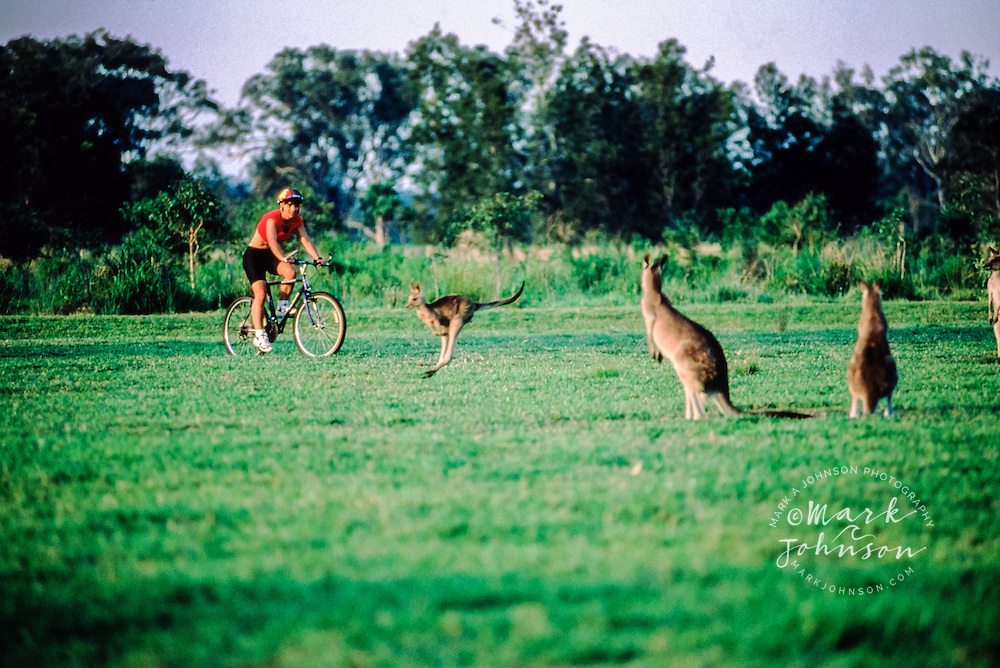 Woman mountain biking among kangaroos