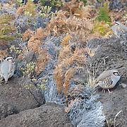 A group of chukar (Alectoris chukar) gathers on the rugged, rocky terrian high on Mount Haleakala, Maui.