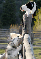 A cat finds itself in a compromising position after being chased up a fence post by a neighbor's dog in Victor, Idaho. The pooch eventually lost interest, and the kitty lived to see another day.