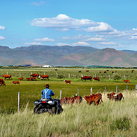 Rancher Herding Cattle on Four Wheeler near Arco, Idaho<br /> Herding cattle conjures up images of cowboys on horseback during dusty drives in the wild west.  Today, that rancher might be wearing suspenders and riding a four wheeler while coaching his cattle back behind a fence, like this one near Arco, Idaho.