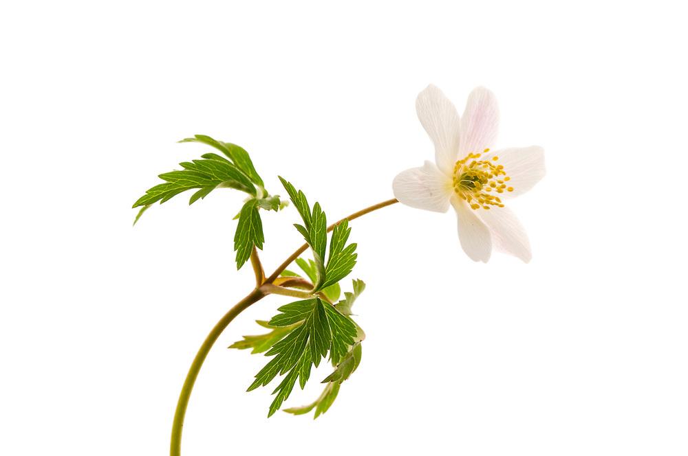 Wood anemone flower