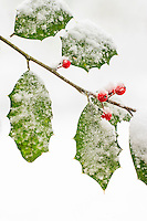 Close-up picture of Holly leaves and berries in wet snow.