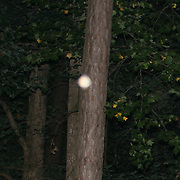 A beautiful peach colored orb about 20 feet up a tree with a flash caused shadow.