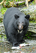 Black Bear with fishing for Salmon in mouth in Valdez, Alaska