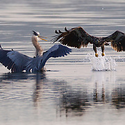 A juvenile bald eagle (Haliaeetus leucocephalus) attempts to steal food from a great blue heron (Ardea herodias) in Hood Canal near Seabeck, Washington. Hundreds of bald eagles congregate in the area in the early summer to feast on migrating midshipman fish that get trapped in oyster beds during low tides. Bald eagles, however, largely get their food by stealing it from other birds.