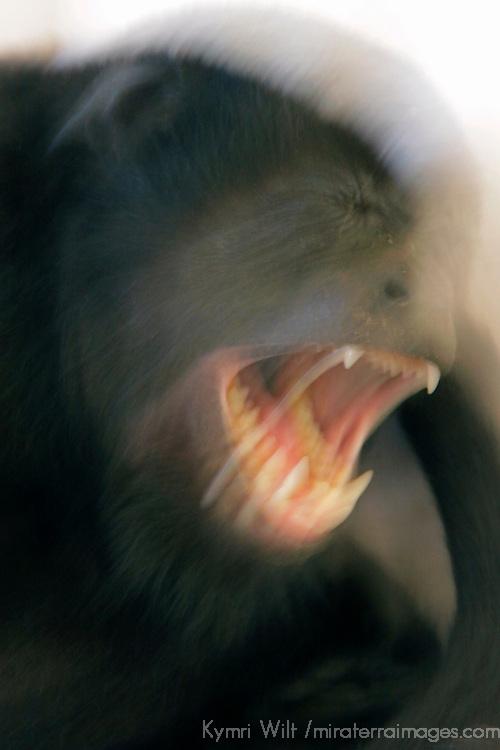 Central America, Costa Rica, Tamarindo. Howler Monkey in motion.