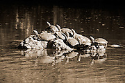 Turtles worship the sun from a rock in the middle of the Rio Grande River. Santa Elena Canyon, Big Bend National Park, Texas.