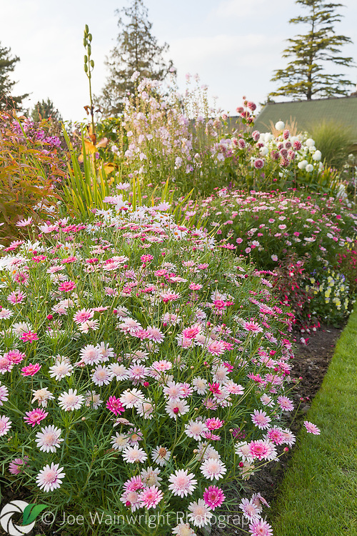 Colouful herbaceous borders in the Walled Garden at Holehird Gardens, Cumbria, photographed in October. Planting includes Argyranthemum frutescens and Dahlias