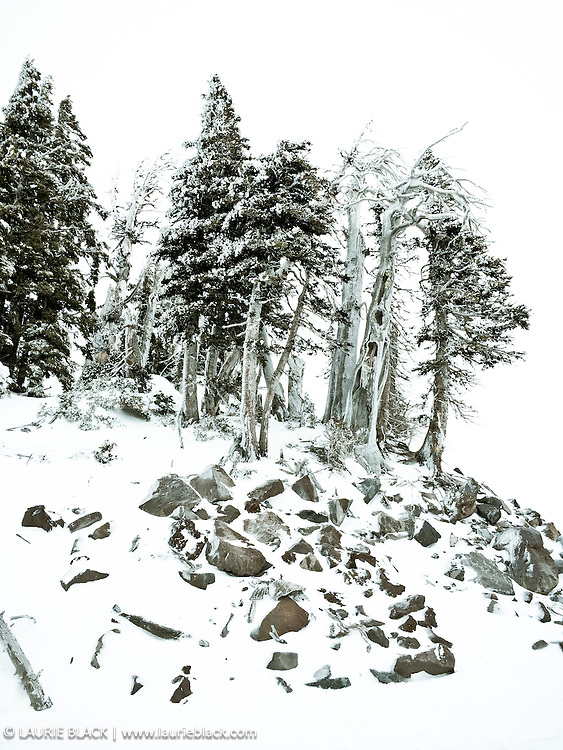 Mountain trees in winter