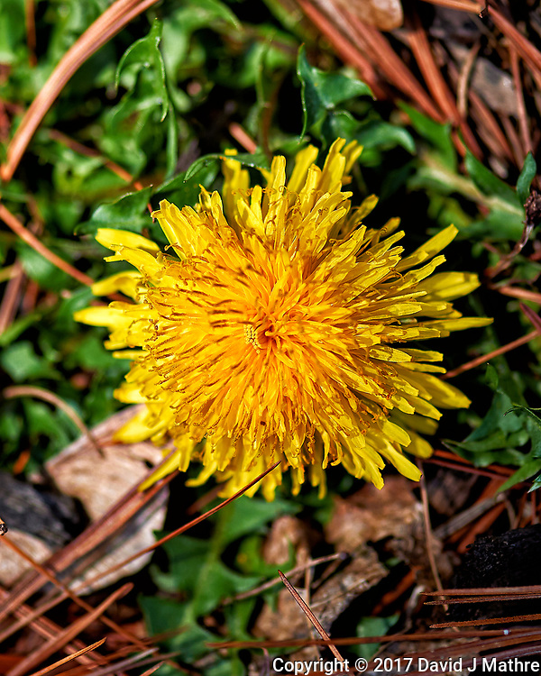 Early spring dandelion bloom. Backyard nature in New Jersey. Image taken with a Nikon Df camera and 105 mm f/2.8 VR macro lens (ISO 100, 105 mm, f/4, 1/500 sec).