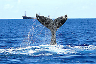 humpback whale fluke, ( Megaptera novaeanglia ),  Polisini Greek Wreck  (Kinsei Maru), Silver Banks Marine Sanctuary, Dominican Republic, Caribbean Sea