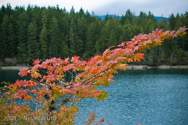 Fall leaves against a green forest in Washington state