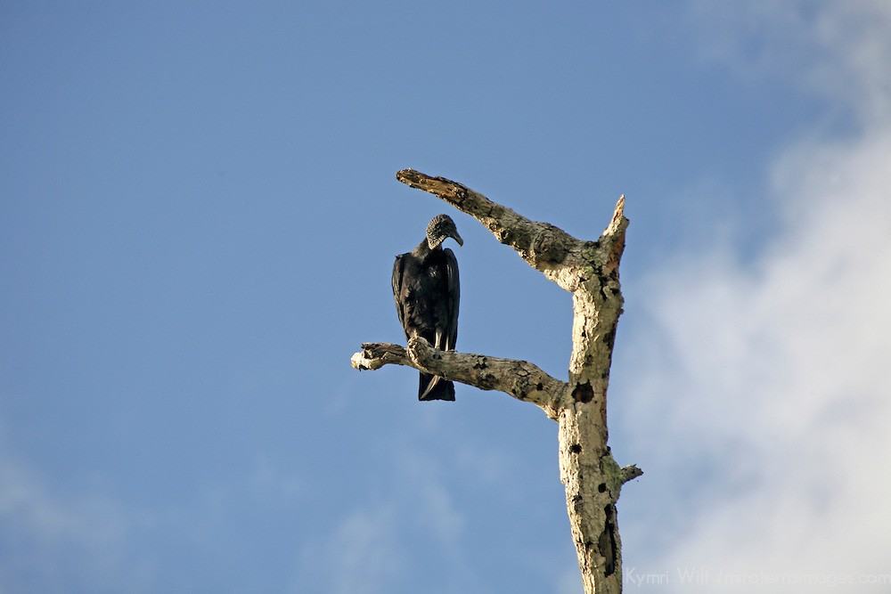 Central America, Latin America, Costa Rica. A black vulture perched overlooking fields in the Corcovado Peninsula.