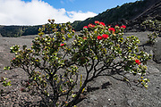 Ohia or Ohi'a Lehua (Metrosideros polymorpha, in the Myrtle family, Myrtaceae) is the most abundant tree in the Hawaiian Islands, and is one of the first trees to colonize lava flows, as here in Kilauea Iki crater. Its brush-like flower stamens are usually red. The walkable pit crater of Kilauea Iki (adjacent to the larger caldera of Kilauea) is still warm after last erupting in 1959, in Hawaii Volcanoes National Park, on the Big Island, Hawaii, USA. Established in 1916 and later expanded, the park (HVNP) encompasses two active volcanoes: Kilauea, one of the world's most active volcanoes, and Mauna Loa, the world's most massive shield volcano. HVNP is honored as a UNESCO World Heritage Site and International Biosphere Reserve.