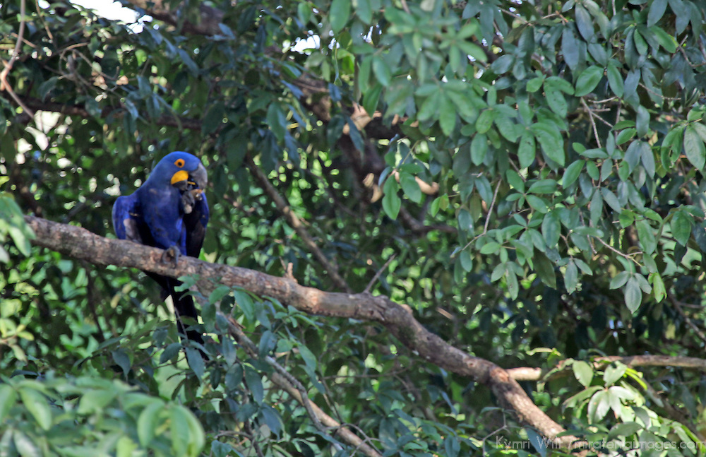 South America, Brazil, Pantanal. Hyacinth Macaw in it's natural habitat of the Pantanal.