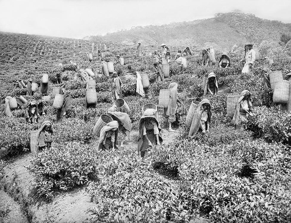 Archival Photograph. Tea Pluckers.