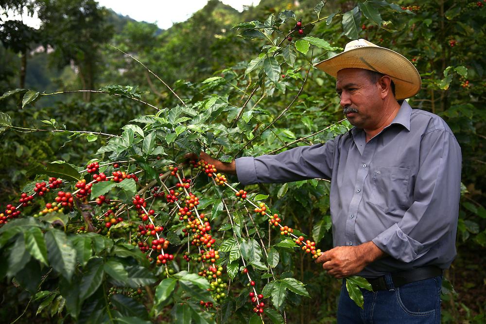 Coffee farmer Martiniano Moreno examines coffee cherries on one of his plants in the Jaltenango region of Chiapas, Mexico. Photographed on November 16, 2015. (Joshua Trujillo, Starbucks)<br /> <br /> ***model released***