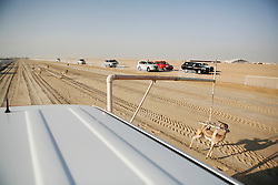 A view from atop the vehicle carrying the gazelle lure. At the end of the race a group of workers from Egypt cover the gazelle to prevent the salukis from getting to it.