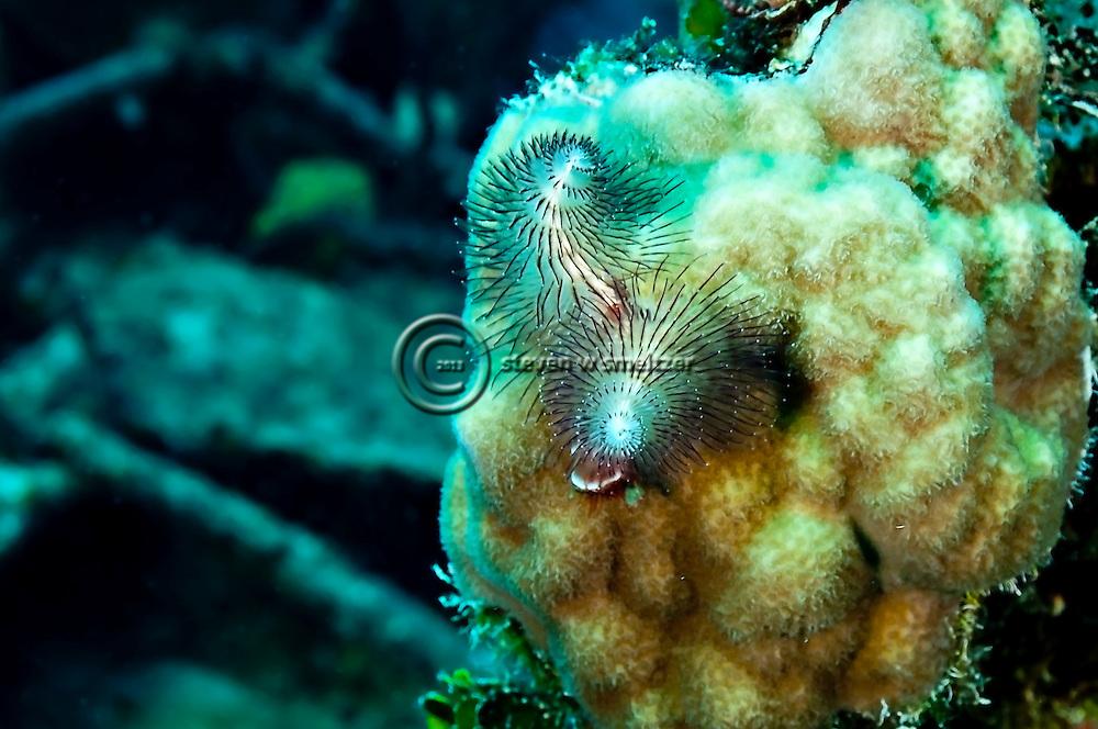 Christmastree Worm, Doc Paulson, Grand Cayman