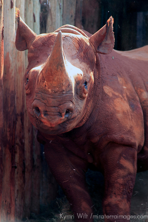 Africa, Kenya, Nairobi. Orphaned blind rhinoceros rescued and cared for at David Sheldrick's.