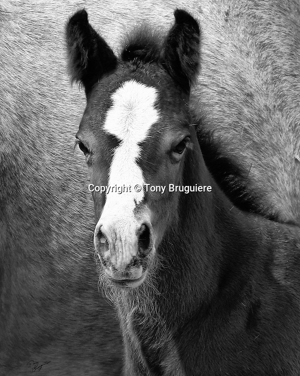 This young colt from KESA Quarter Horses located east of Fort Collins, Colorado is destined to be a future champion.