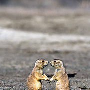 Black-tailed prairie dogs. Theordore Roosevelt National Park, Noth Dakota