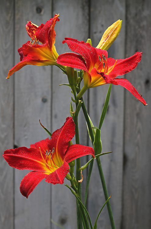 Red Lilies flower fine art photography images are available as museum quality photography prints, canvas prints, acrylic prints or metal prints. Flower fine art prints may be framed and matted to the individual liking and decorating needs at<br />