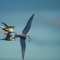 Canada, Manitoba, Arctic Tern (Sterna paradisaea) chased while carrying small fish caught at Hubbart Point along Hudson Bay