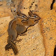 Two Allen's Chipmunks (Tamias senex) play on the rocks in the Sequoia National Forest near Kings Canyon National Park, California. Allen's Chipmunks, also known as Large Mountain Chipmunks or Shadow Chipmunks, are found from the coast to the mountains, though only the mountain chipmunks hibernate in the winter. Allen's Chipmunks primarily feed on fungi.