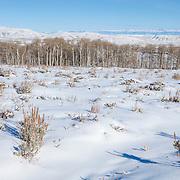 Sagebrush steppe and aspen grove is prime mule habitat in Wyoming
