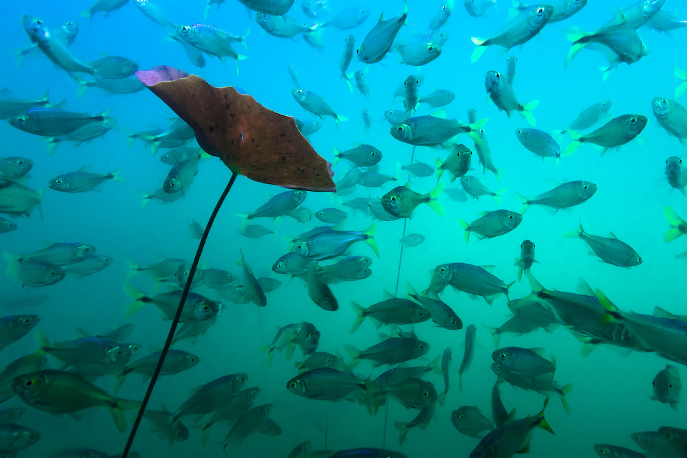 Mexico, Quintana Roo.  A Water plant and a school of fresh water fishes at cenote Aktun Ha, or Car Wash.