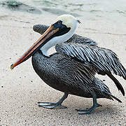 A Galapagos Brown Pelican (Pelecanus occidentalis, subspecies: urinator) walks the beach at Suaraz Point, a wet landing location on Española (Hood) Island, Galapagos Islands, Ecuador, South America. The Brown Pelican species lives strictly on coasts from Washington and Virginia south to northern Chile and the mouth of the Amazon River. Some immature birds may stray to inland freshwater lakes. Although large for a bird, the Brown Pelican is the smallest of the eight species of pelican. Adults are 106-137 cm (42-54 inches) in length, weigh from 2.75 to 5.5 kg (6-12 pounds), and have a wingspan from 1.83 to 2.5 m (6 to 8.2 feet). After nesting, North American birds move in flocks further north along the coasts, returning to warmer waters for winter. Their young are hatched in broods of about 3, and eat around 150 pounds of fish in the 8-10 month period they are cared for. The Brown Pelican bird differs from the American White Pelican by its brown body and its habit of diving for fish from the air, as opposed to cooperative fishing from the surface. It eats mainly herring-like fish. The nest location varies from a simple scrape on the ground on an island to a bulky stick nest in a low tree. Pelicans can live more than 30 years. In 1959, Ecuador declared 97% of the land area of the Galápagos Islands to be Galápagos National Park, which UNESCO registered as a World Heritage Site in 1978. Ecuador created the Galápagos Marine Reserve in 1998, which UNESCO appended in 2001.