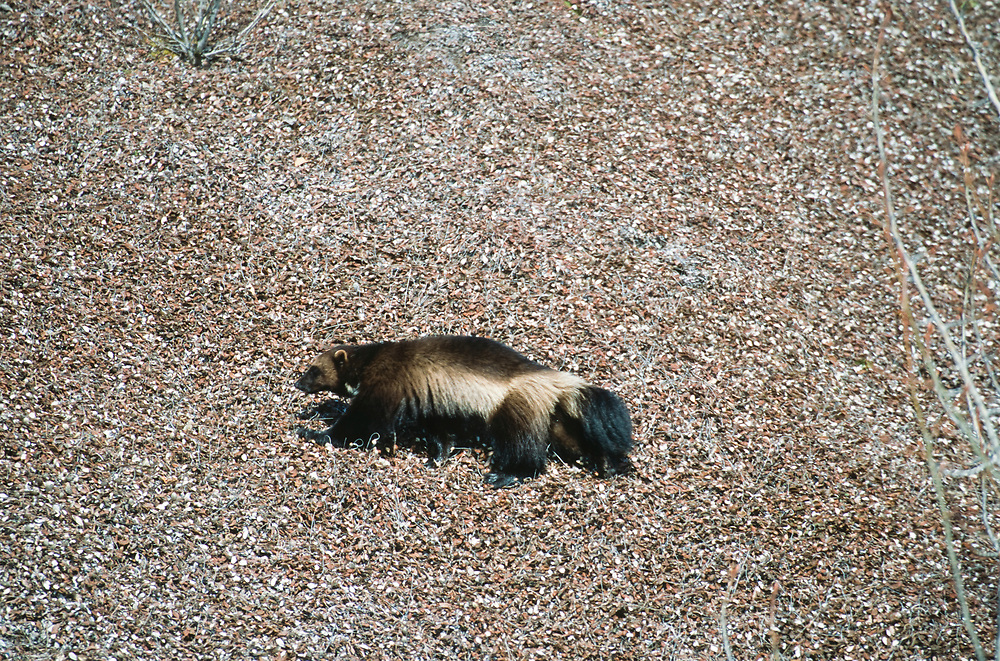 Alaska. Glacier Bay NP. Wachusett Inlet. A wolverine ( Gulo gulo ) moves over a mat of dryas in the early spring.