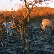 Small farmer rancher checking his cattle in recently burned cerrado savanna in Brazilian Highlands, Goias, Brazil