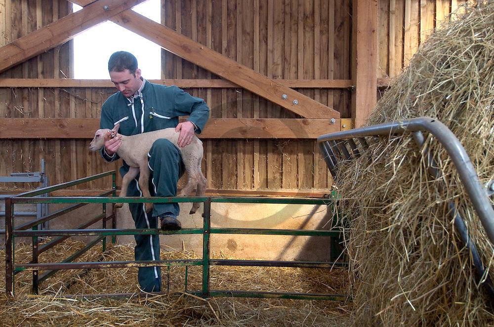 17/03/05 - BEAUBERY - SAONE ET LOIRE - FRANCE - Intervention sur un agneaux Charolais. EARL BAJARD. Selectionneur Charolais - Photo Jerome CHABANNE
