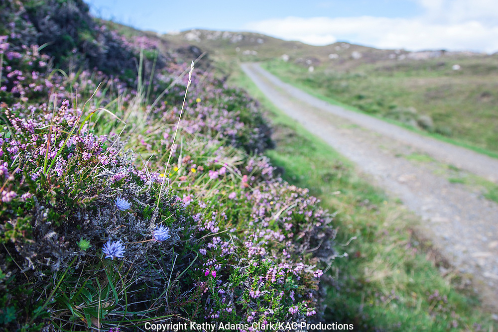 Wildflowers on Clare Island, western Ireland in summer.