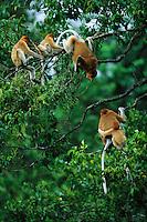 A female proboscis monkey, Nasalis larvatus, mother of two, squawks at another mother proboscis monkey invading their choice sleeping spot..Lower Kinabatangan Wildlife Sanctuary, Borneo Island.