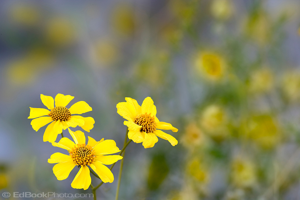 Brittlebush (Encilia farinosa) in the Anza-Borrego Desert, California, USA