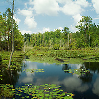 This property has been protected by a grant through the South Carolina Conservation Bank. It is important because it adds acreage to the adjacent Aiken Gopher Tortoise Heritage Preserve. Waters orginating in coastal South Carolina take on a black appearance due to leaf tannins that are present.