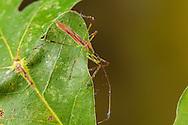 Assassin Bug (Zelus luridus)<br /> United States: Alabama: Tuscaloosa Co.<br /> Tulip Tree Springs off Echola Rd.; Elrod<br /> 7-Sep-2016<br /> J.C. Abbott #2865